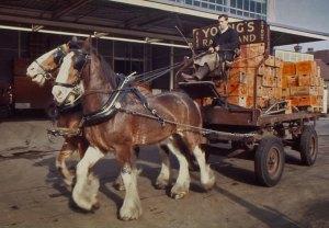 drayhorses